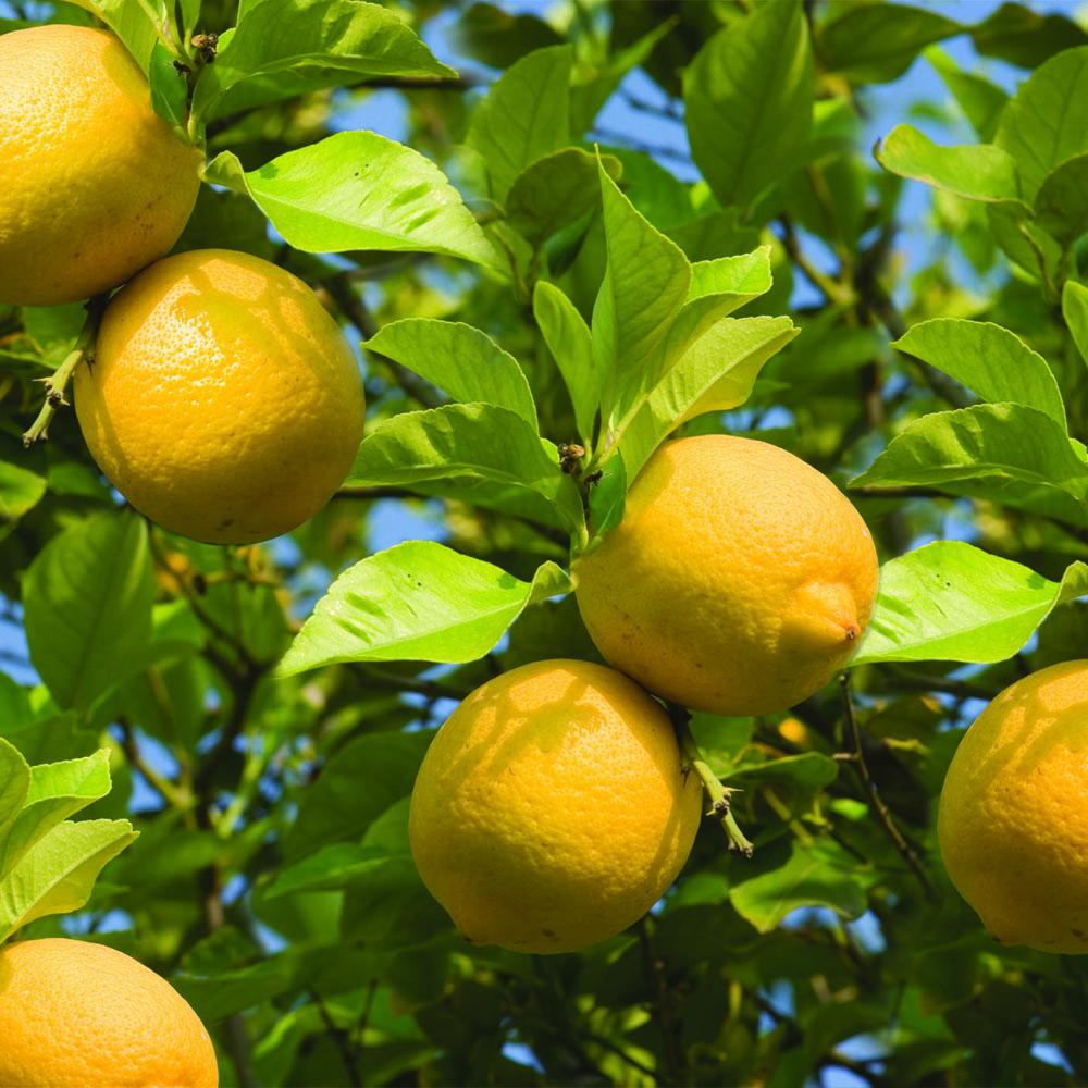 Bloomsz lemon tree in decorative planter bloomsz for Lemon plant images