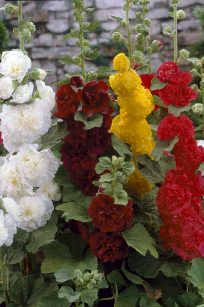 Double Hollyhock Mixed Colors