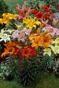 Asiatic Lilies Mixed
