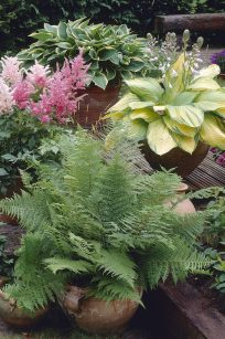 Three Great Shade Patio Container Perennial Plants