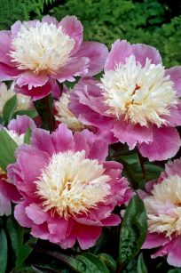 Peonies Bowl of Beauty
