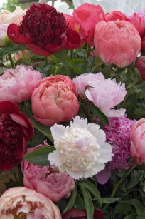 Breeder's Choice Cut Flower Peonies