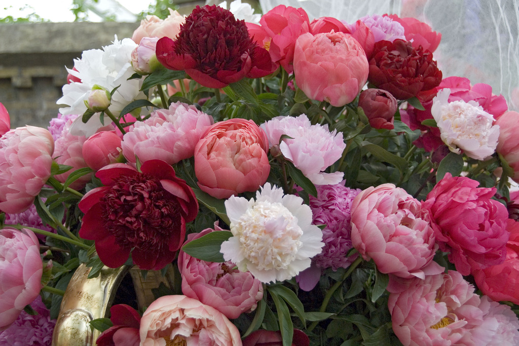 Bloomsz Breeder S Choice Cut Flower Peony Blend Roots 5 Pack