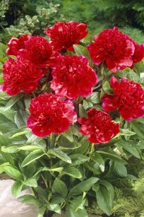 Peonies Red Charm
