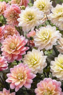 Bloomsz Dahlia Candy Mixture