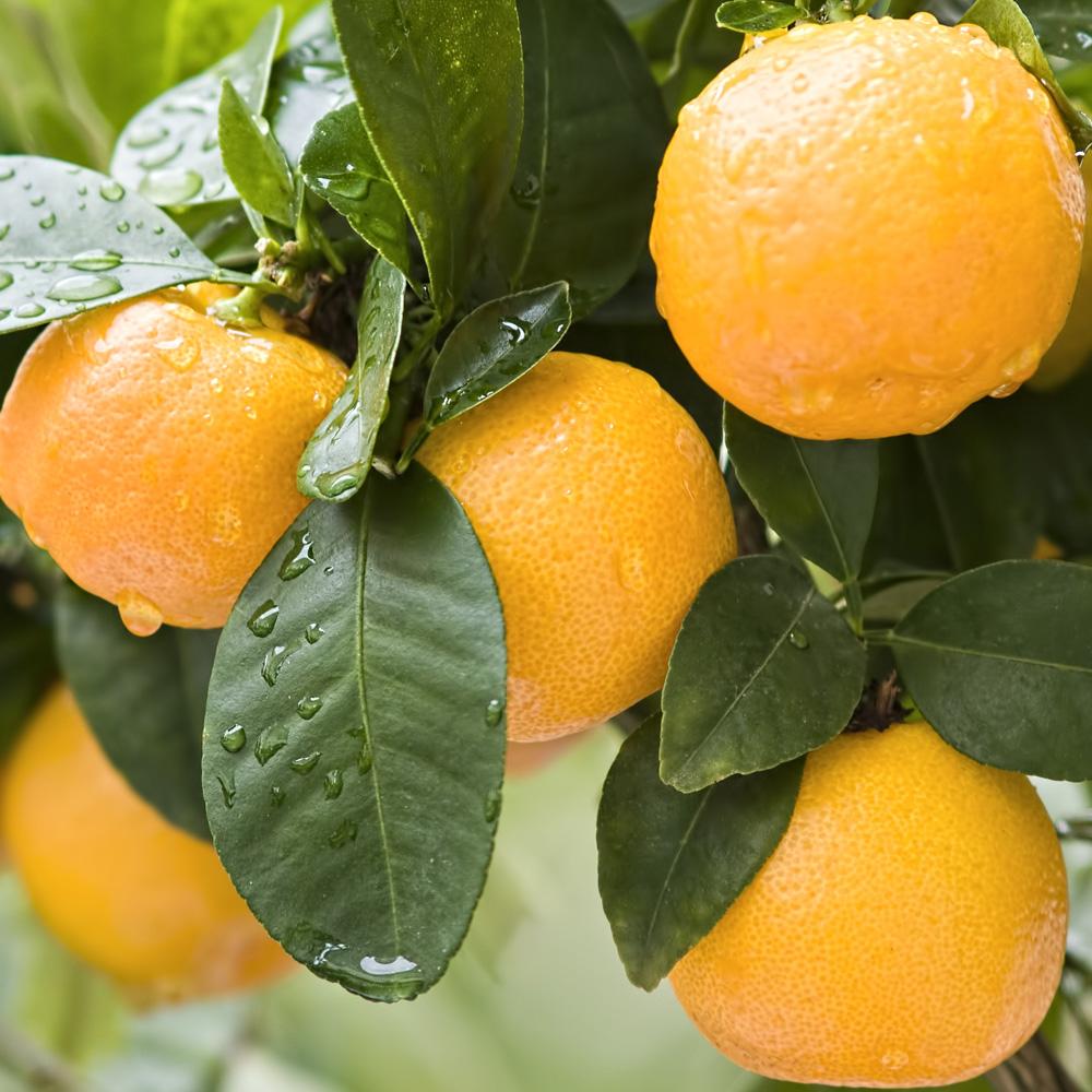 How to grow Orange in Container | Growing Orange tree