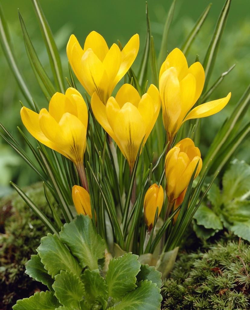 Bloomsz Crocus Bulbs Yellow Mammoth Flower Bulb 20 Pack Bloomsz