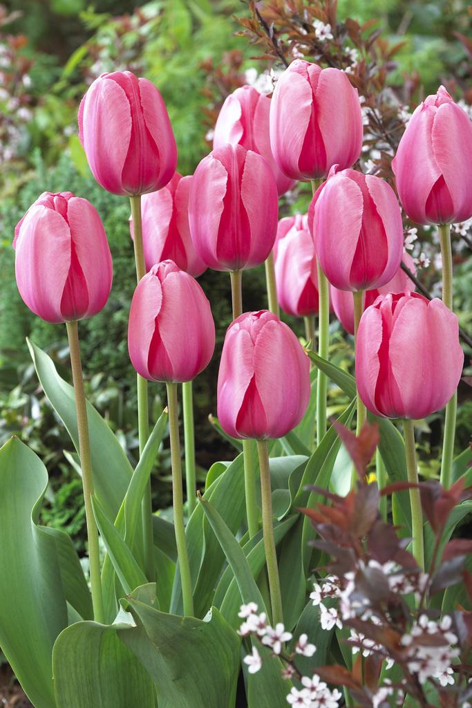 Bloomsz Darwin Tulip Bulbs Pink Impression Flower Bulb (20-Pack)   Bloomsz