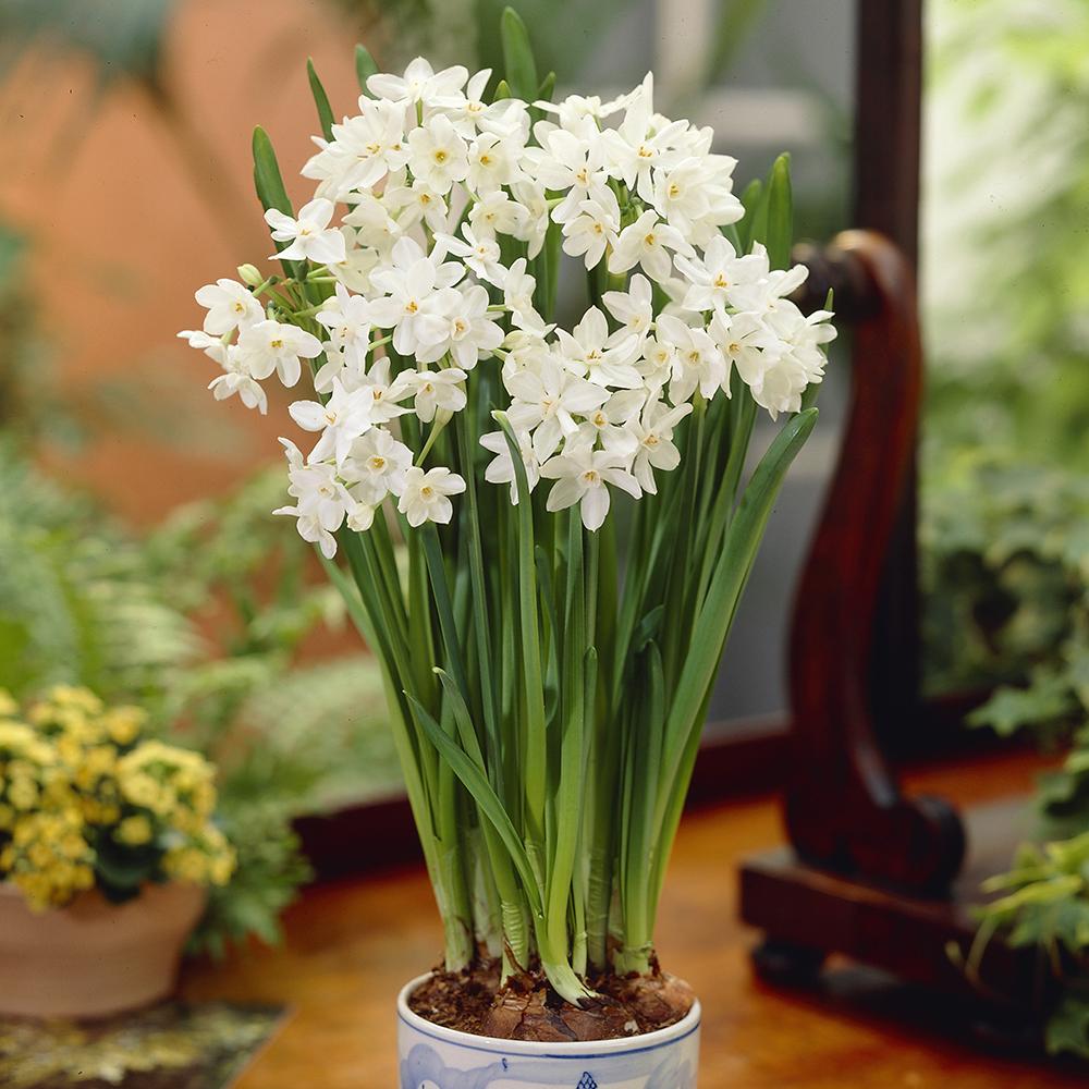 Bloomsz paperwhites ziva 7 pack bloomsz mightylinksfo