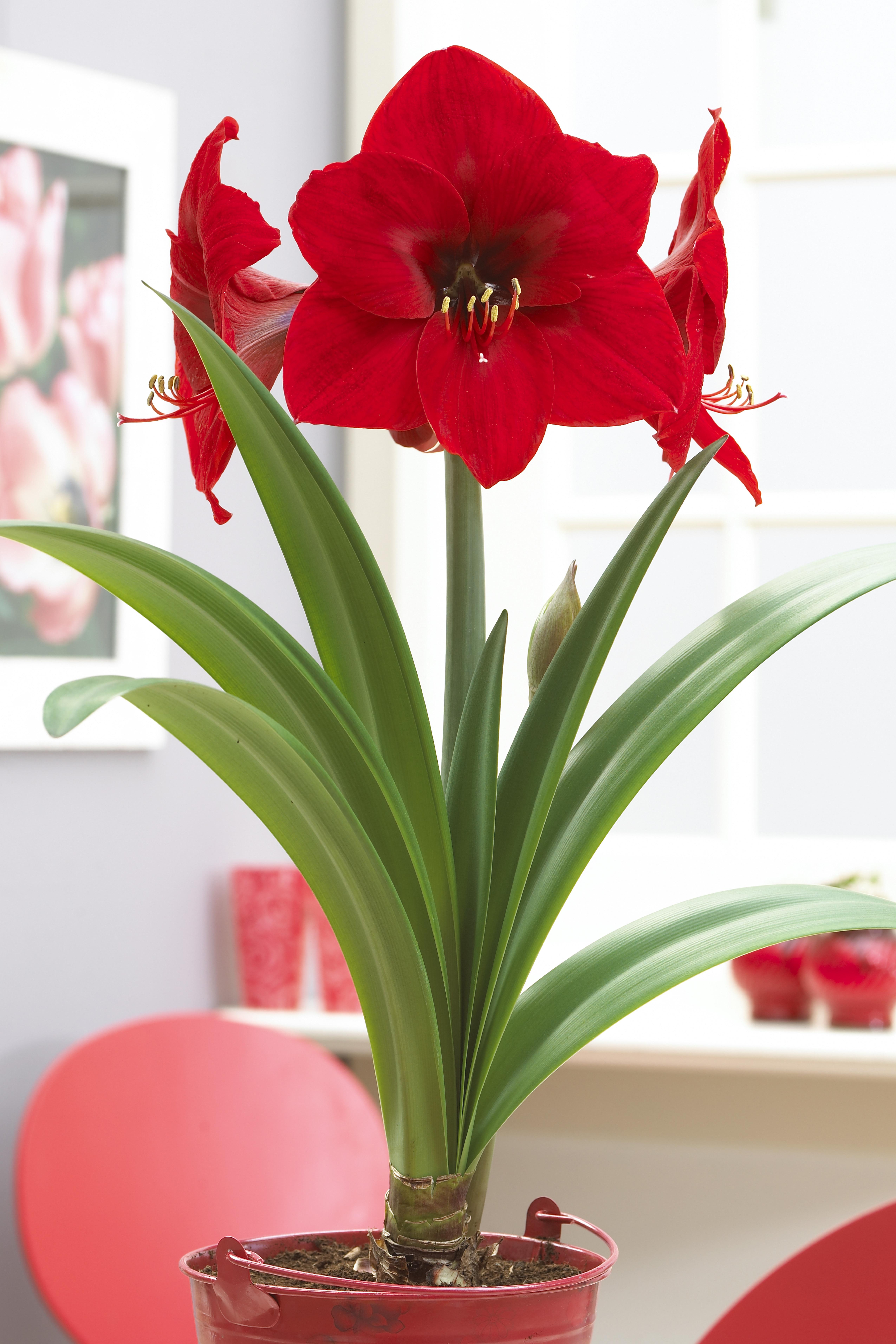 Bloomsz economy amaryllis red lion 12 pack bloomsz for Planter des amaryllis