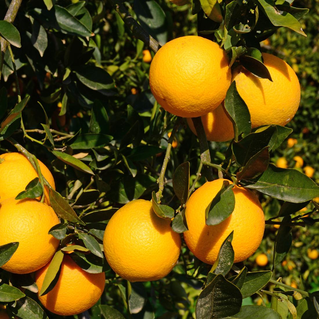 Bloomsz Citrus Fruit Tree Cara Cara Navel – 1 year old ...