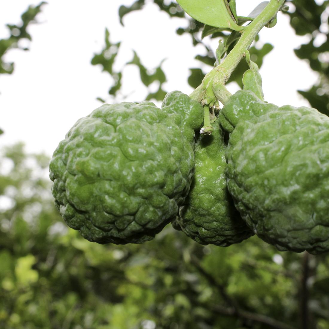 bloomsz citrus fruit tree kaffir lime u2013 1 year old u2013 32u2033 tall - Kaffir Lime Tree
