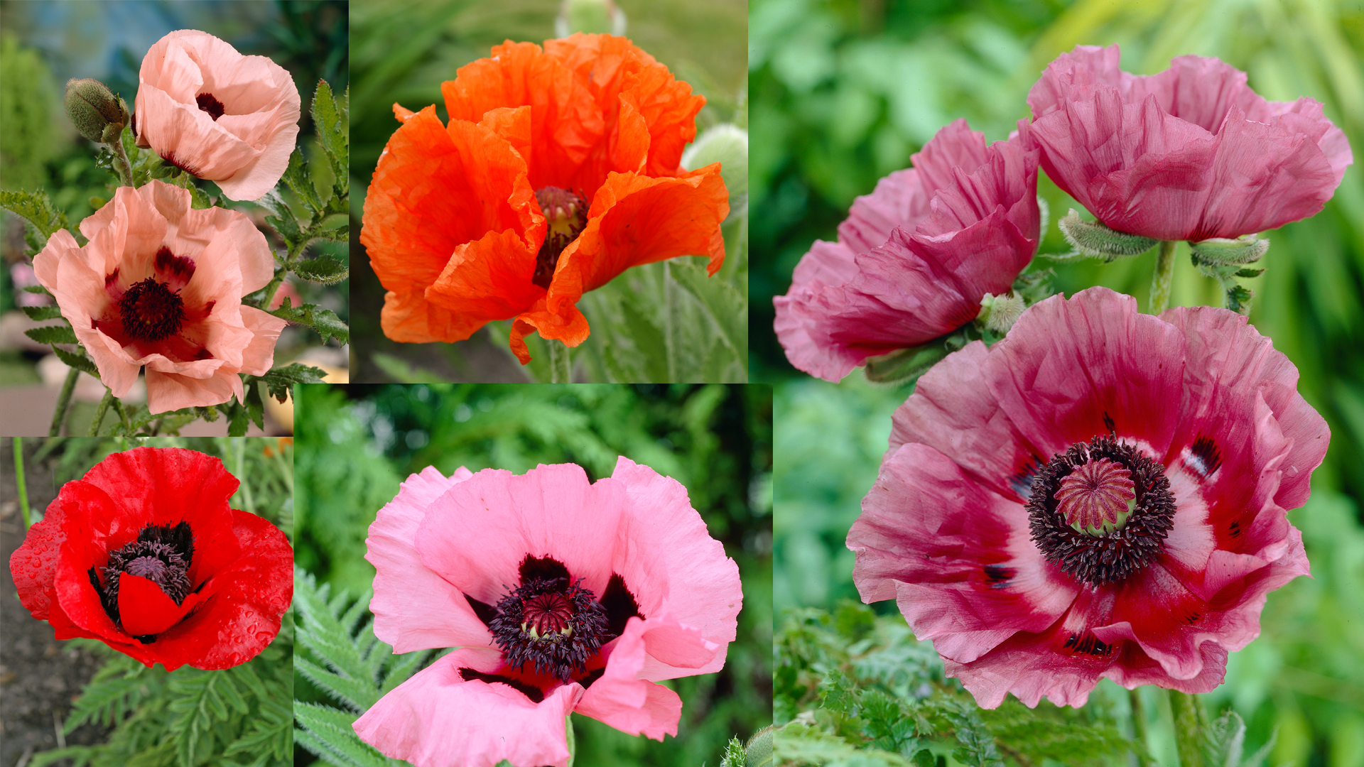 Bloomsz Colourful Oriental Poppy Collection Bulbs 5 Pack Bloomsz
