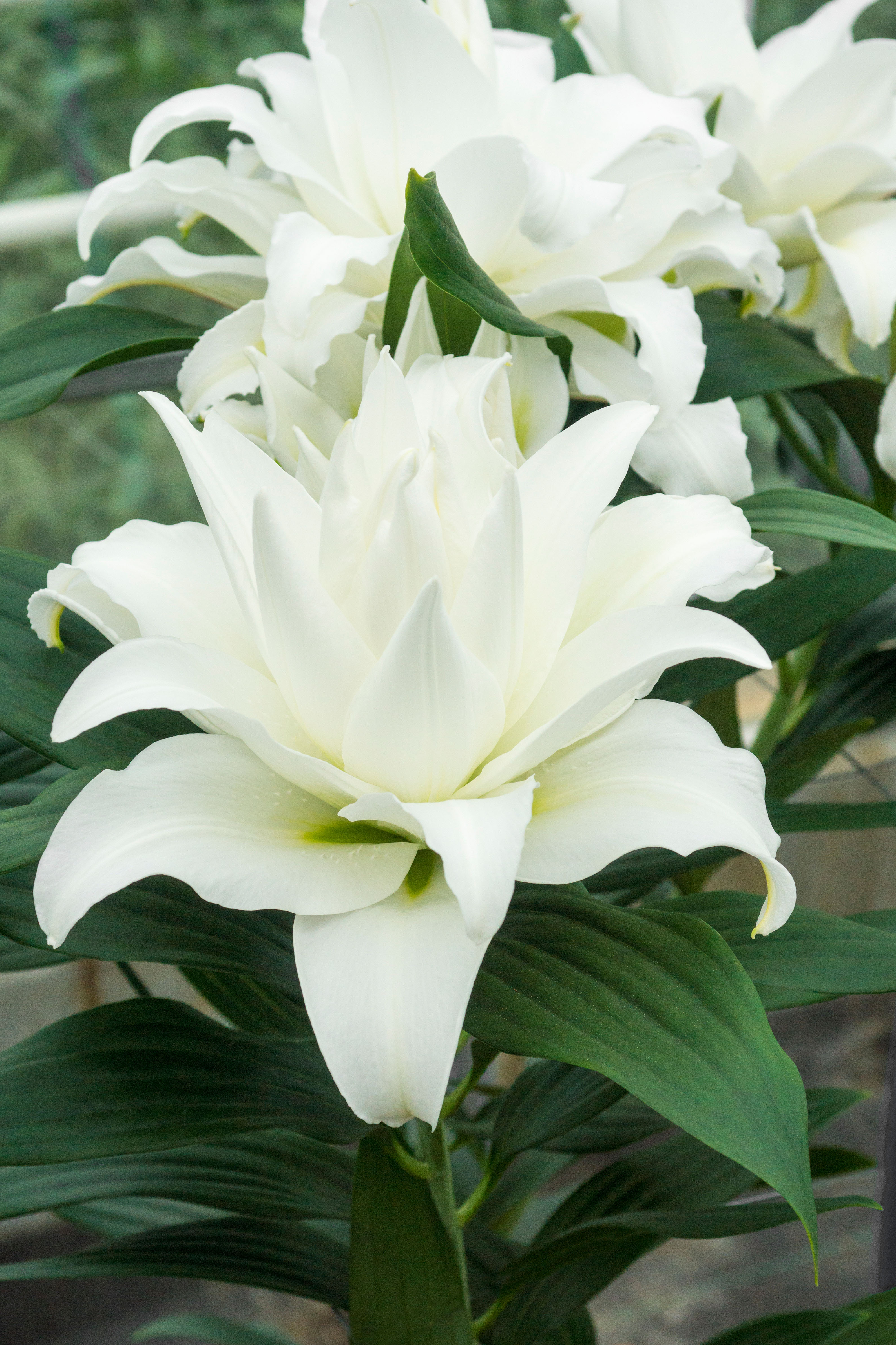 Bloomsz My Wedding Lily 5 Pack