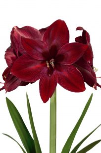 Queen of Night Amaryllis